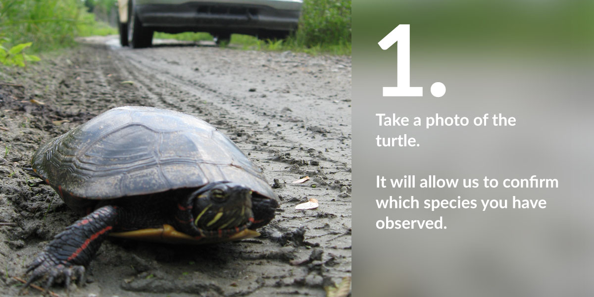 Report a turtle in Quebec - Carapace ca